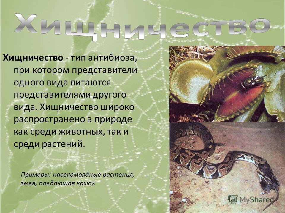 Хищничество - тип антибиоза, при котором представители одного вида питаются представителями другого вида. Хищничество широко распространено в природе как среди животных, так и среди растений. Примеры: насекомоядные растения; змея, поедающая крысу.