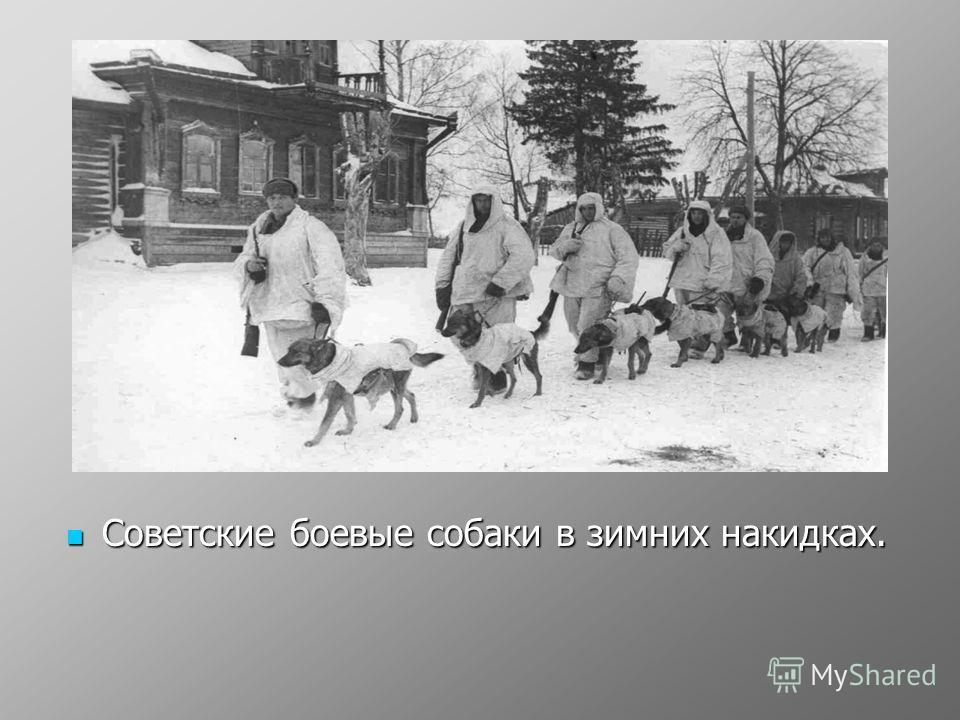 Советские боевые собаки в зимних накидках. Советские боевые собаки в зимних накидках.
