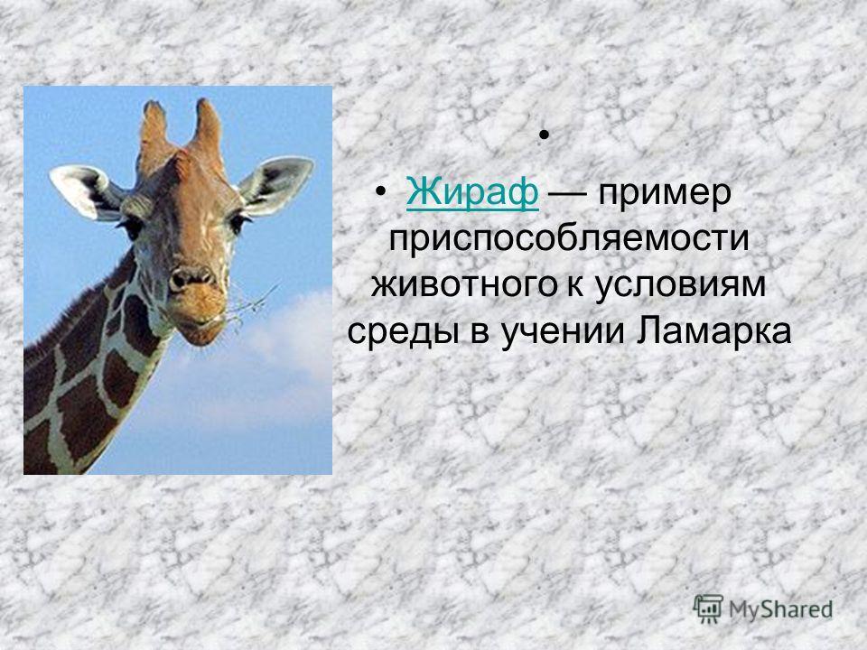 Жираф пример приспособляемости животного к условиям среды в учении ЛамаркаЖираф