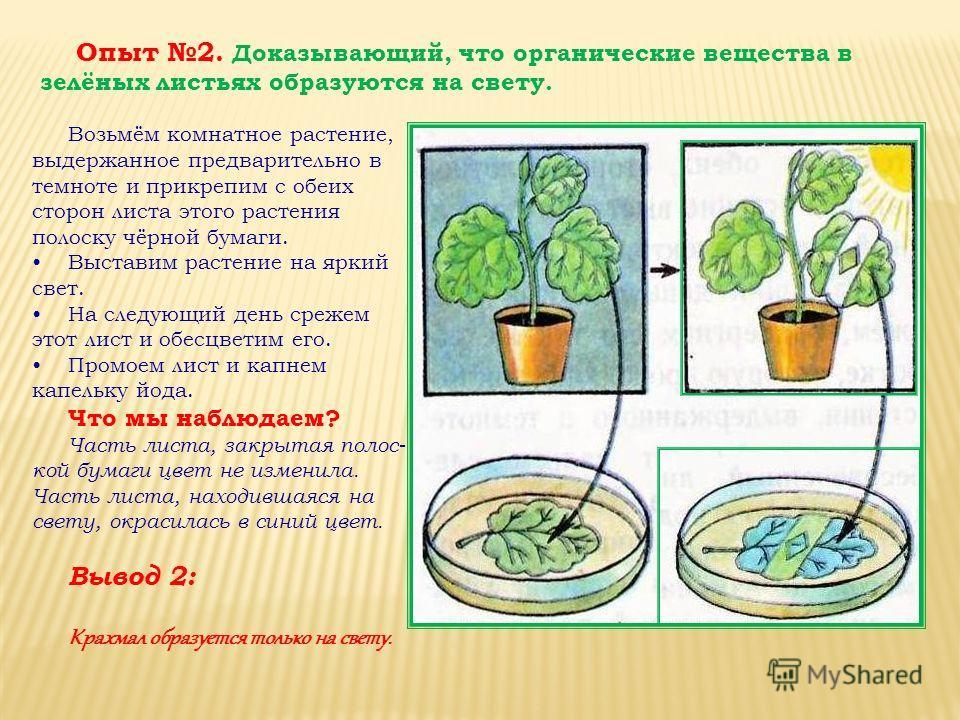 Возьмём комнатное растение, выдержанное предварительно в темноте и прикрепим с обеих сторон листа этого растения полоску чёрной бумаги. Выставим растение на яркий свет. На следующий день срежем этот лист и обесцветим его. Промоем лист и капнем капель
