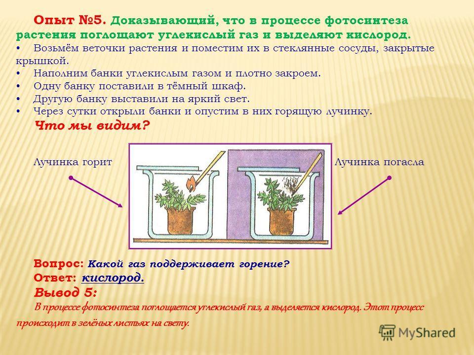 Опыт 5. Доказывающий, что в процессе фотосинтеза растения поглощают углекислый газ и выделяют кислород. Возьмём веточки растения и поместим их в стеклянные сосуды, закрытые крышкой. Наполним банки углекислым газом и плотно закроем. Одну банку постави