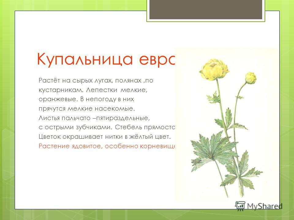 Купальница европейская. Растёт на сырых лугах, полянах,по кустарникам. Лепестки мелкие, оранжевые. В непогоду в них прячутся мелкие насекомые. Листья пальчато –пятираздельные, с острыми зубчиками. Стебель прямостоячий. Цветок окрашивает нитки в жёлты