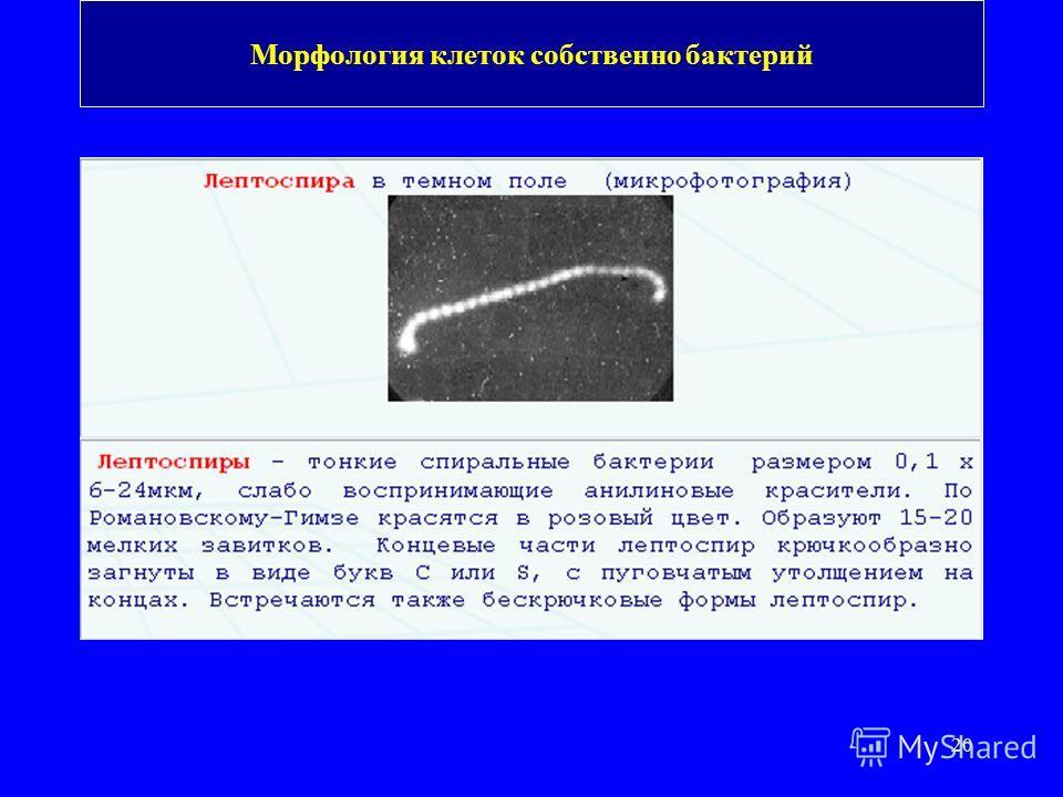20 Морфология клеток собственно бактерий