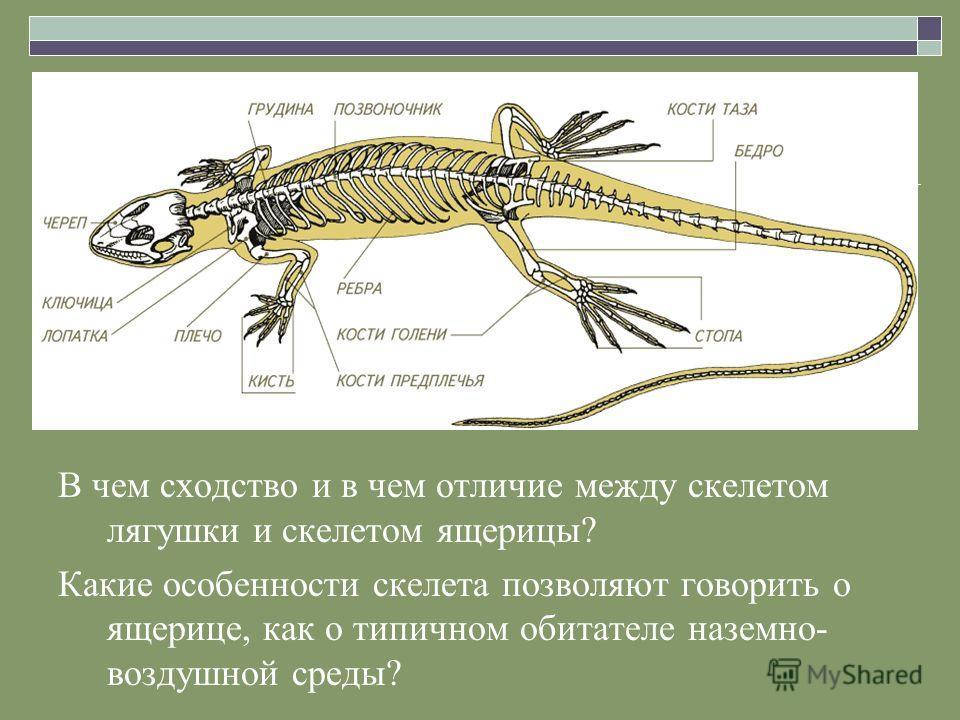 и скелетом ящерицы?