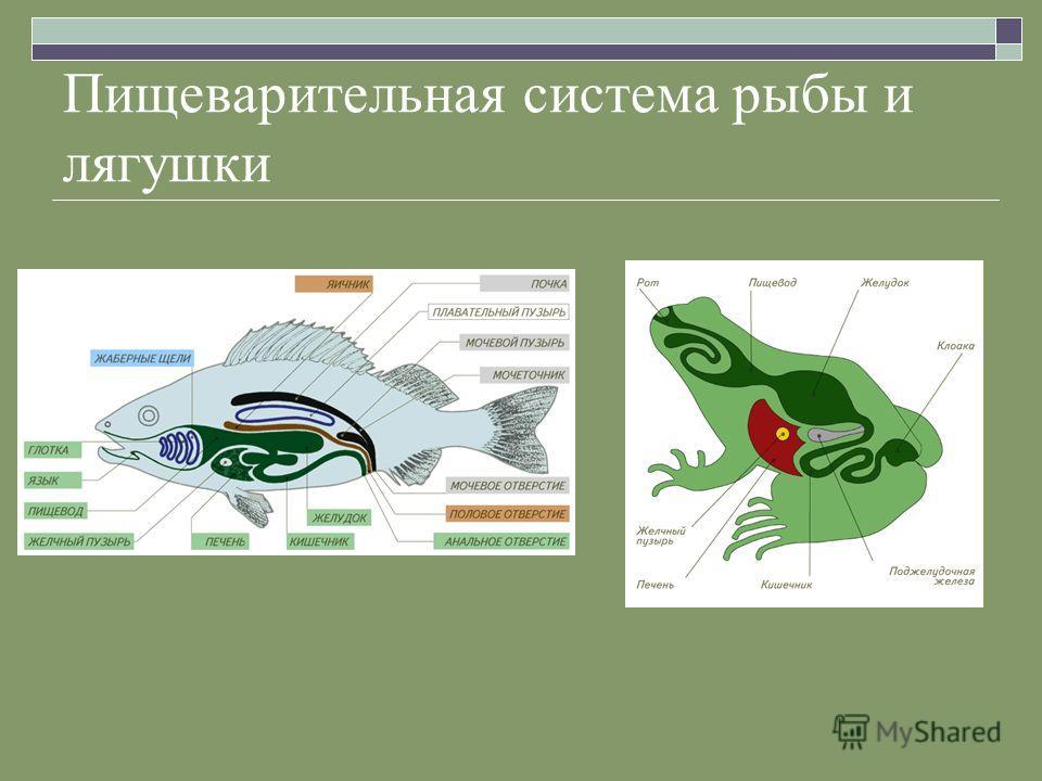 Пищеварительная система рыбы и