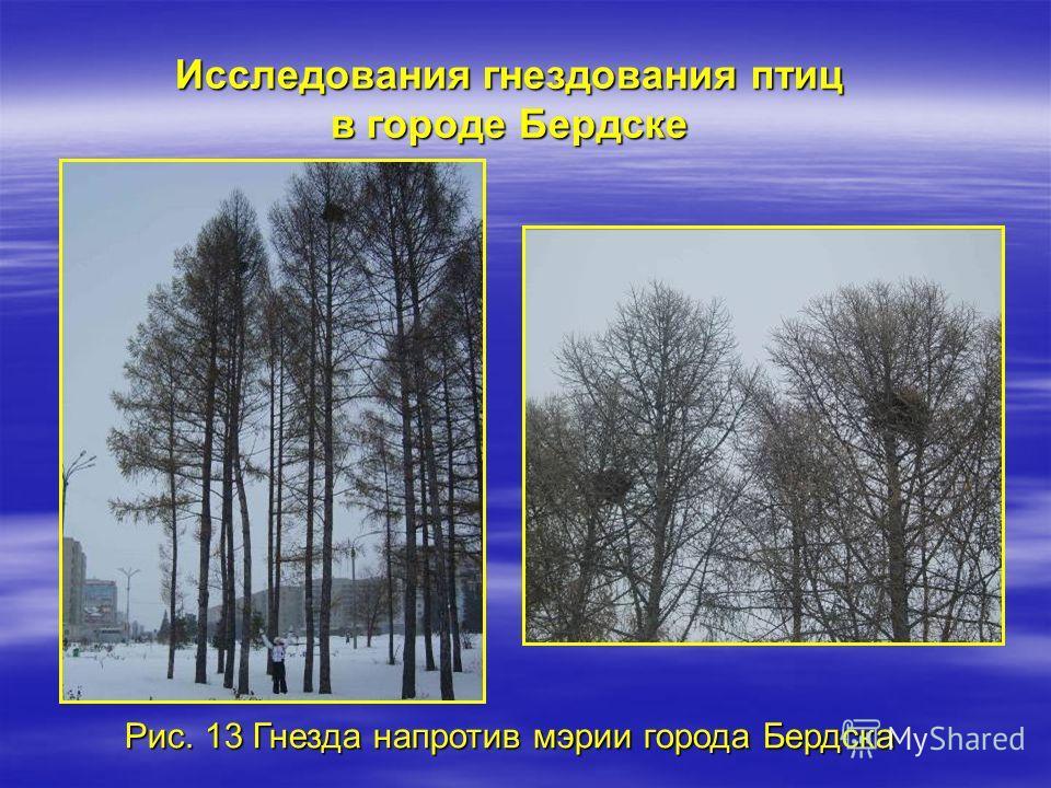 Исследования гнездования птиц в городе Бердске Рис. 13 Гнезда напротив мэрии города Бердска