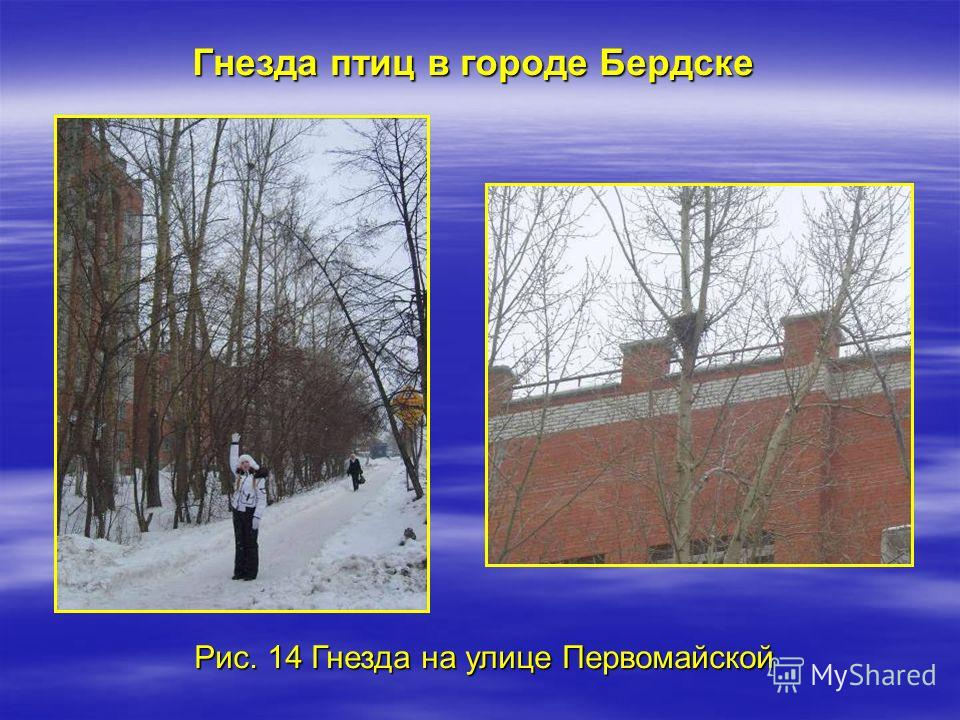 Рис. 14 Гнезда на улице Первомайской Гнезда птиц в городе Бердске