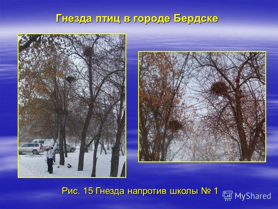Рис. 15 Гнезда напротив школы 1 Гнезда птиц в городе Бердске