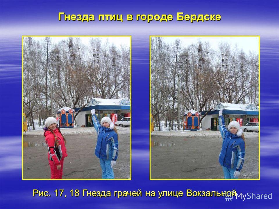 Рис. 17, 18 Гнезда грачей на улице Вокзальной