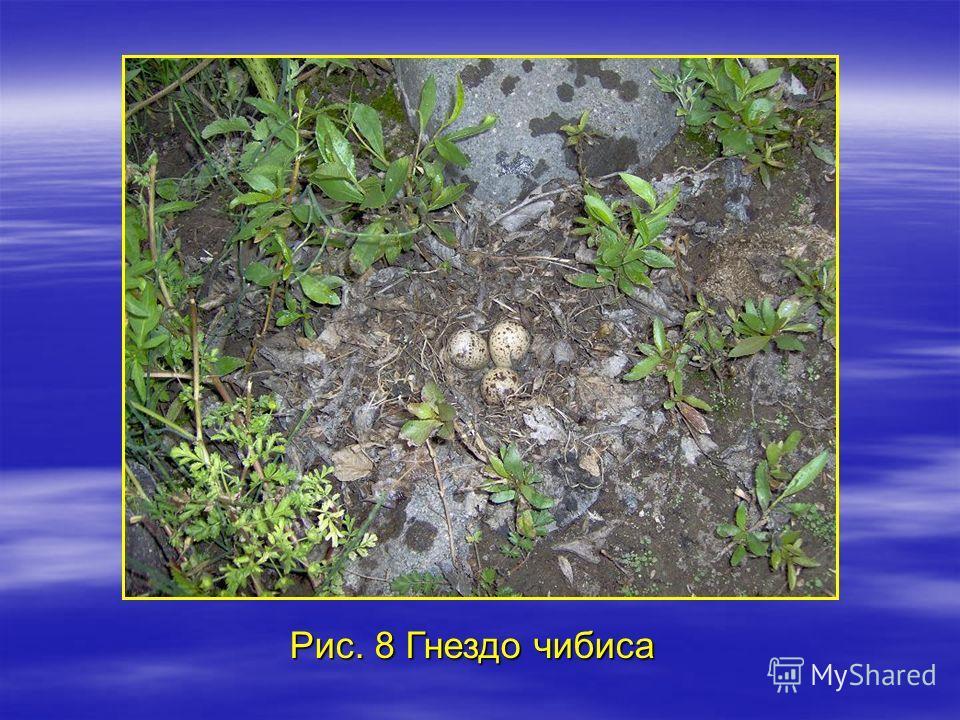 Рис. 8 Гнездо чибиса