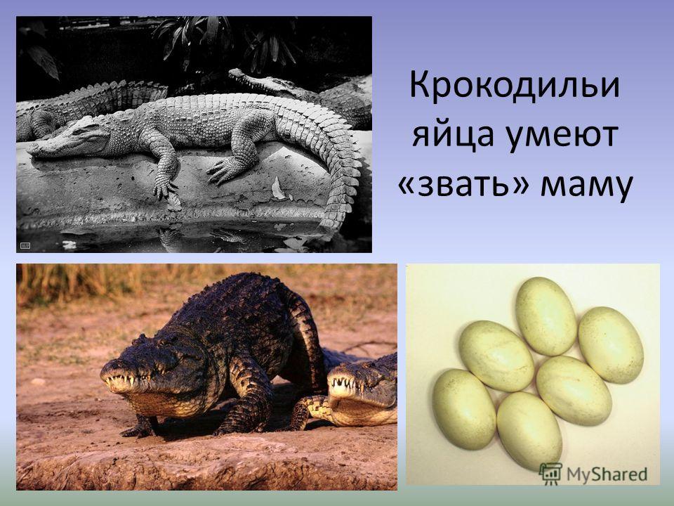 Крокодильи яйца умеют «звать» маму