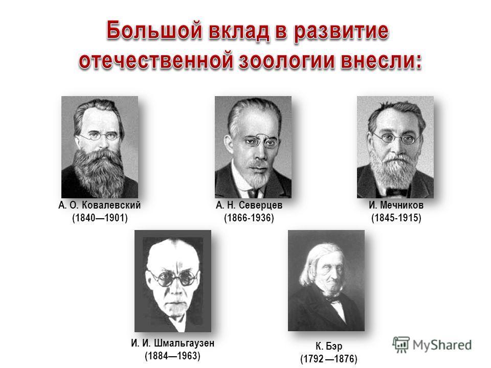 И. Мечников (1845-1915) А. О. Ковалевский (18401901) А. Н. Северцев (1866-1936) К. Бэр (1792 1876) И. И. Шмальгаузен (18841963)