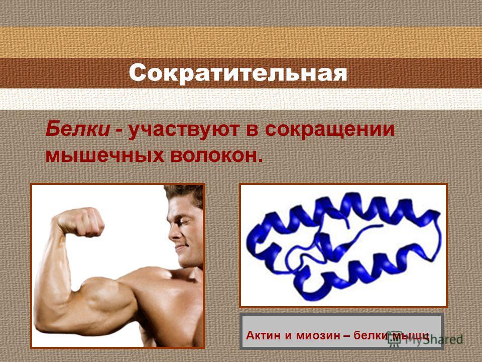 Сократительная Белки - участвуют в сокращении мышечных волокон. Актин и миозин – белки мышц