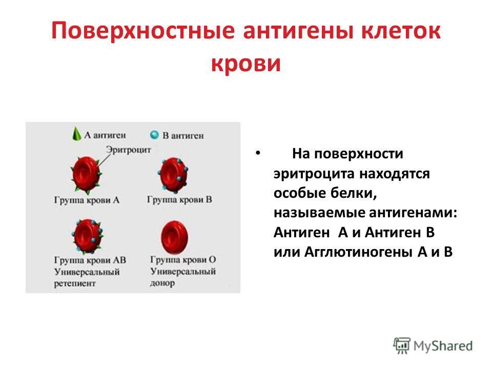 Поверхностные антигены клеток крови На поверхности эритроцита находятся особые белки, называемые антигенами: Антиген А и Антиген В или Агглютиногены А и В