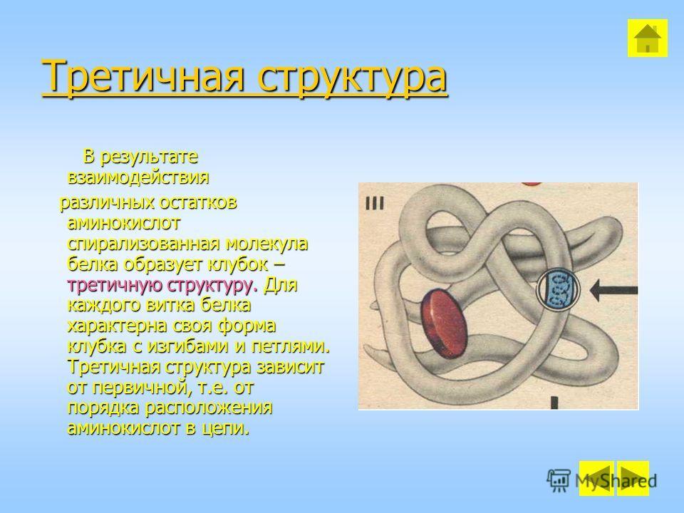 Третичная структура Третичная структура В результате взаимодействия различных остатков аминокислот спирализованная молекула белка образует клубок – третичную структуру. Для каждого витка белка характерна своя форма клубка с изгибами и петлями. Третич