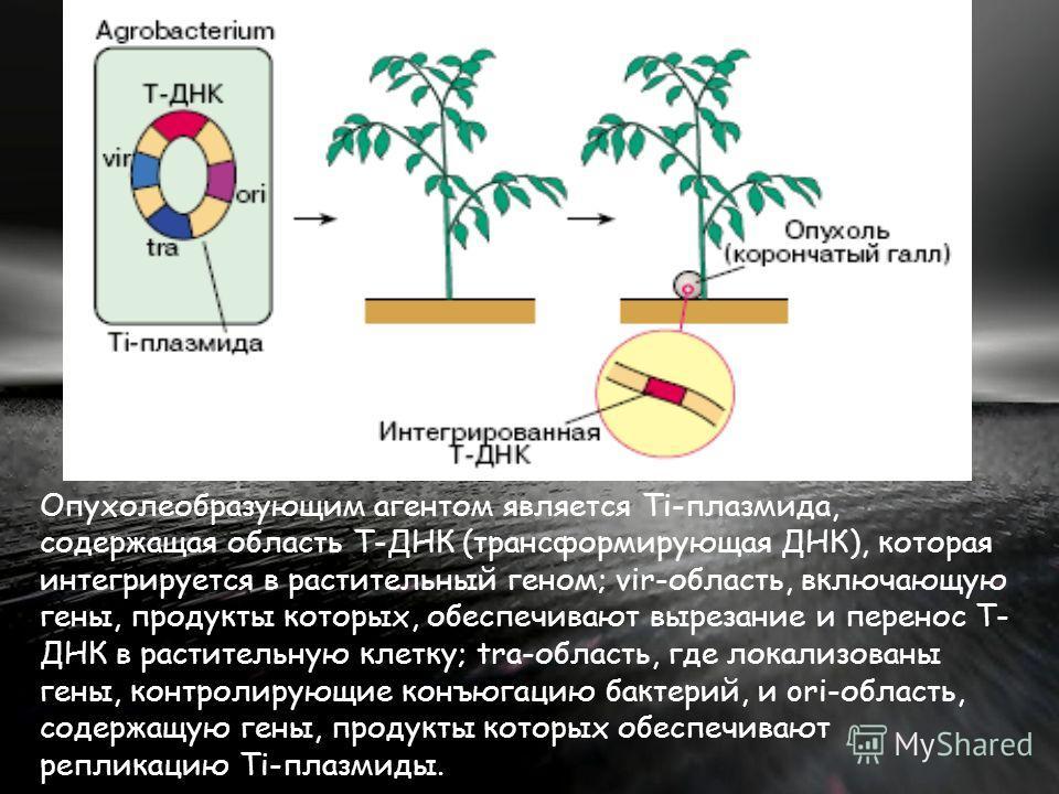 Опухолеобразующим агентом является Ti-плазмида, содержащая область Т-ДНК (трансформирующая ДНК), которая интегрируется в растительный геном; vir-область, включающую гены, продукты которых, обеспечивают вырезание и перенос Т- ДНК в растительную клетку