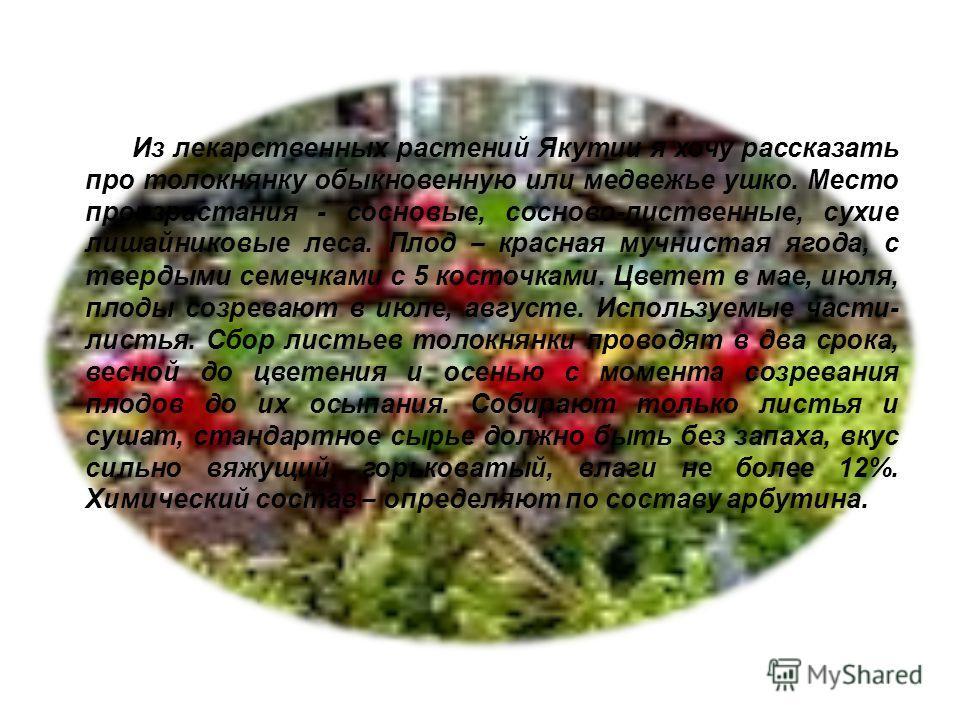 Из лекарственных растений Якутии я хочу рассказать про толокнянку обыкновенную или медвежье ушко. Место произрастания - сосновые, сосново-лиственные, сухие лишайниковые леса. Плод – красная мучнистая ягода, с твердыми семечками с 5 косточками. Цветет