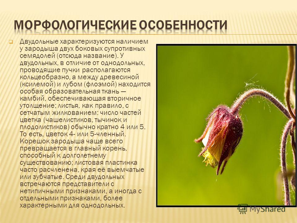 Двудольные характеризуются наличием у зародыша двух боковых супротивных семядолей (отсюда название). У двудольных, в отличие от однодольных, проводящие пучки располагаются кольцеобразно, а между древесиной (ксилемой) и лубом (флоэмой) находится особа