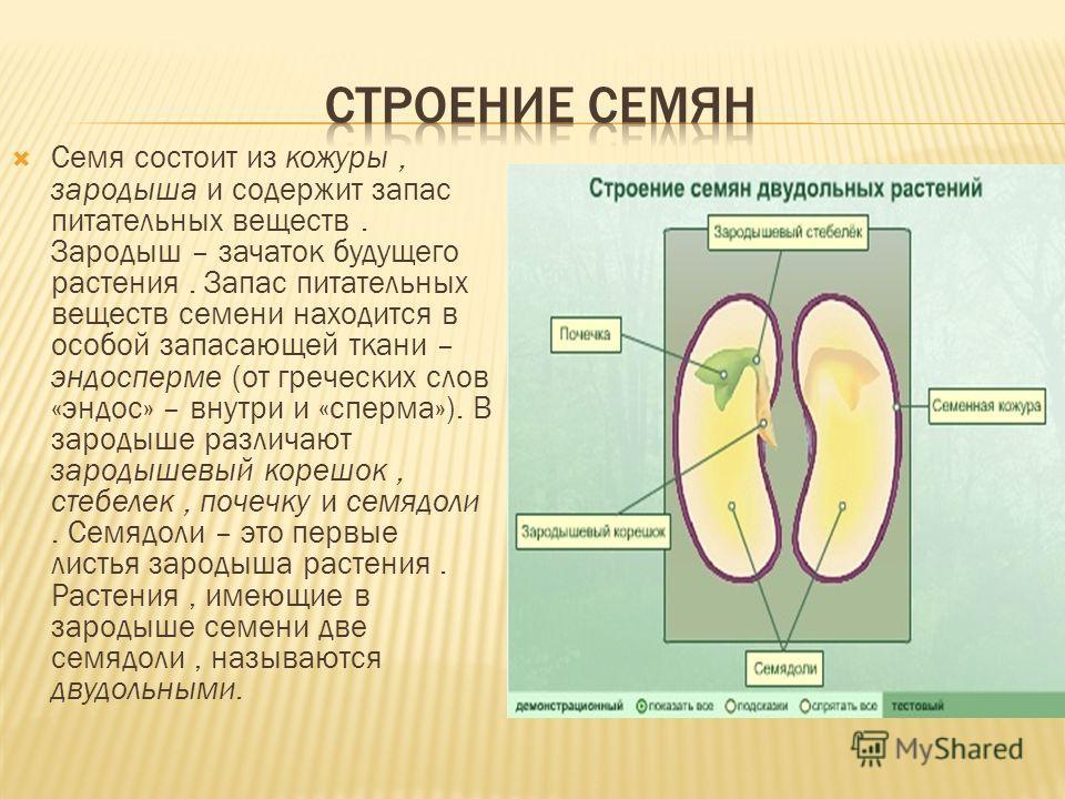 Семя состоит из кожуры, зародыша и содержит запас питательных веществ. Зародыш – зачаток будущего растения. Запас питательных веществ семени находится в особой запасающей ткани – эндосперме (от греческих слов «эндос» – внутри и «сперма»). В зародыше