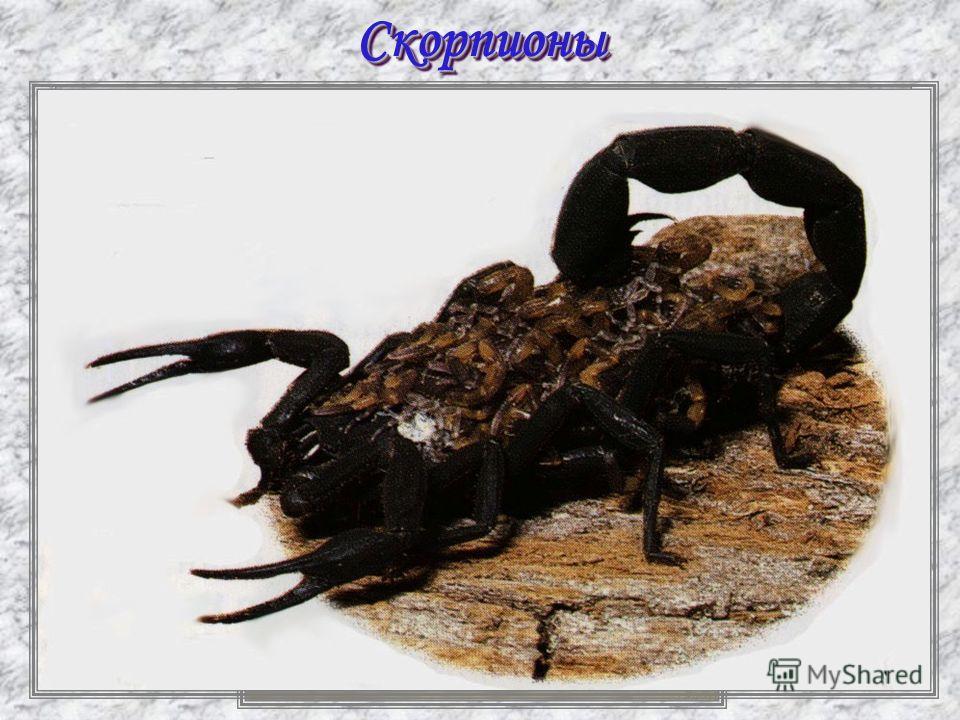 СкорпионыСкорпионы
