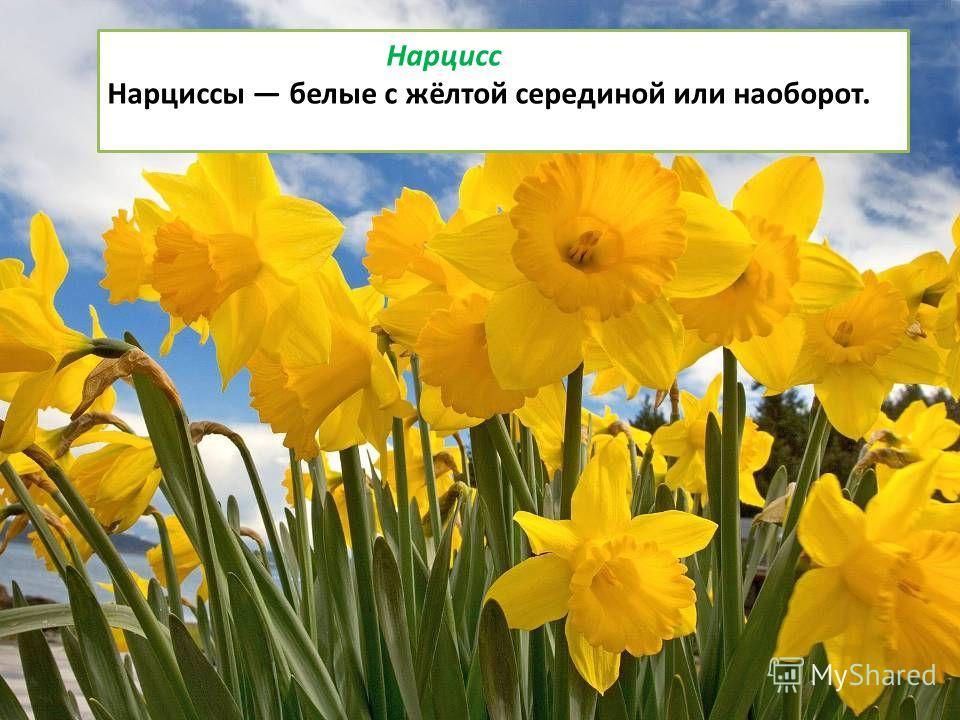 Нарцисс Нарциссы белые с жёлтой серединой или наоборот.