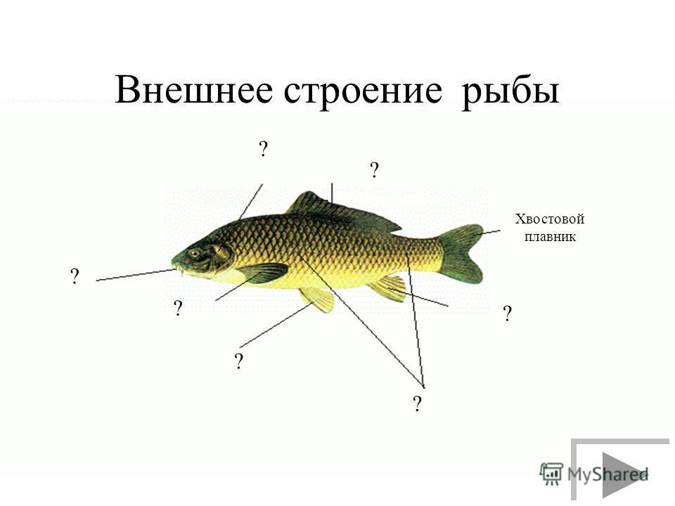 Внешнее строение рыбы ? Хвостовой плавник ? ? ? ? ? ?