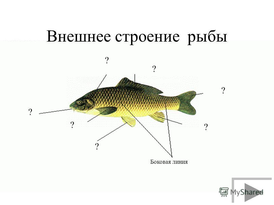 Внешнее строение рыбы ? ? ? ? Боковая линия ? ? ?