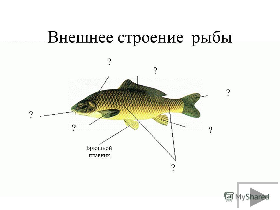 Внешнее строение рыбы ? ? ? Брюшной плавник ? ? ? ?