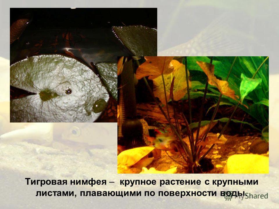 Тигровая нимфея – крупное растение с крупными листами, плавающими по поверхности воды.