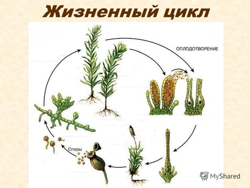 Мхи чем отличаются высшие растения