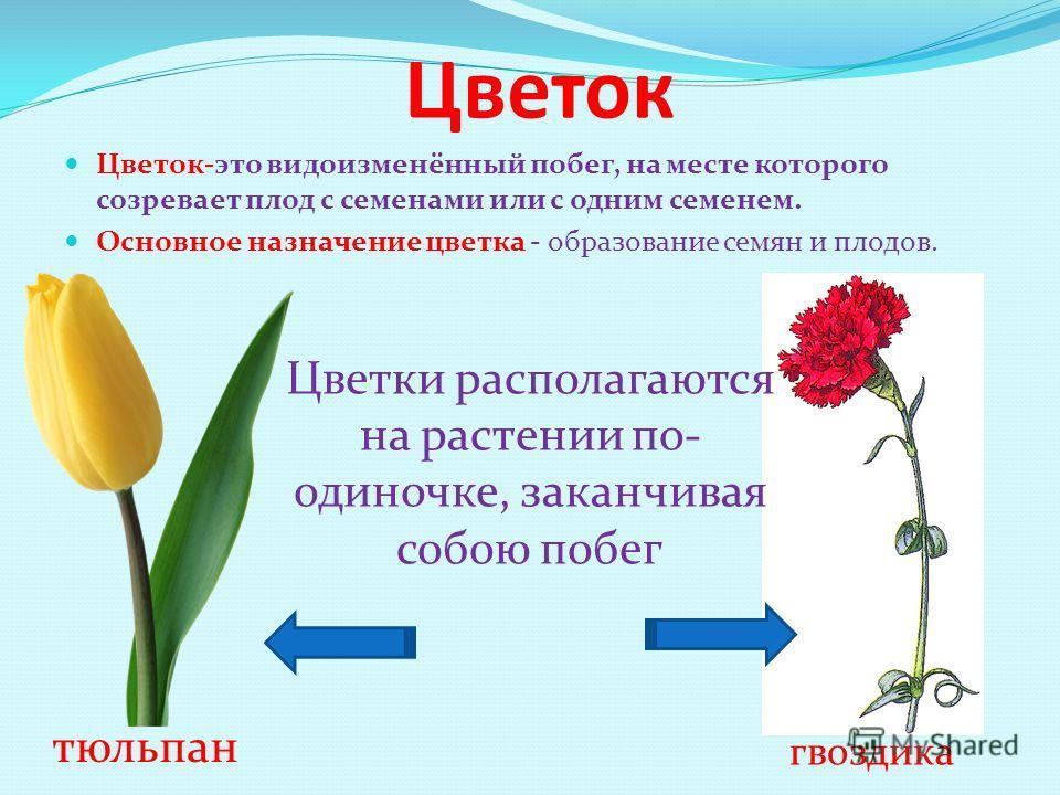 Цветок Цветок-это видоизменённый побег, на месте которого созревает плод с семенами или с одним семенем. Основное назначение цветка - образование семян и плодов. Цветки располагаются на растении по одиночке, заканчивая собою побег тюльпан гвоздика