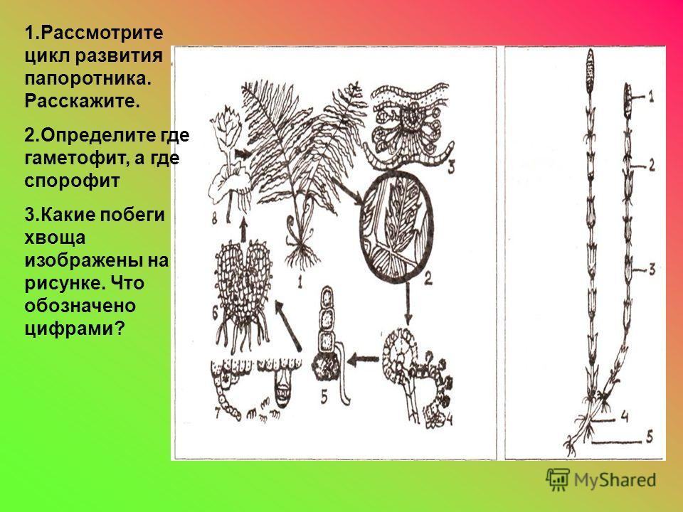 1.Рассмотрите цикл развития папоротника. Расскажите. 2.Определите где гаметофит, а где спорофит 3.Какие побеги хвоща изображены на рисунке. Что обозначено цифрами?