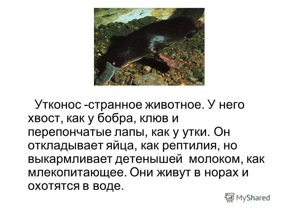 Утконос -странное животное. У него хвост, как у бобра, клюв и перепончатые лапы, как у утки. Он откладывает яйца, как рептилия, но выкармливает детенышей молоком, как млекопитающее. Они живут в норах и охотятся в воде.