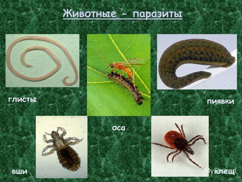 Животные - паразиты вши глисты пиявки клещ оса