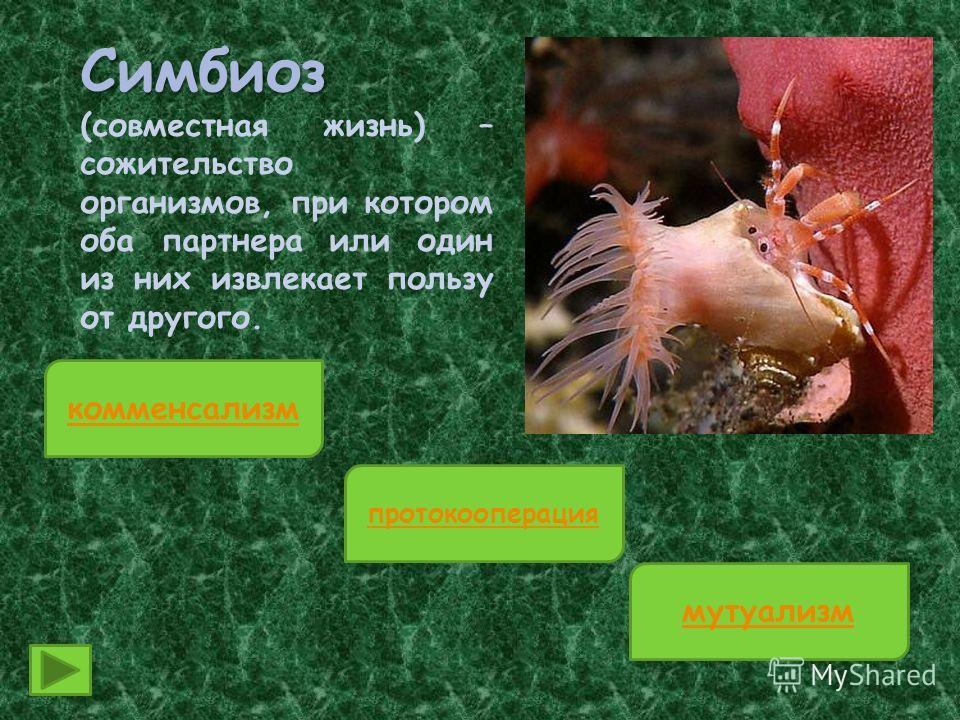 Симбиоз Симбиоз (совместная жизнь) – сожительство организмов, при котором оба партнера или один из них извлекает пользу от другого. комменсализм протокооперация мутуализм