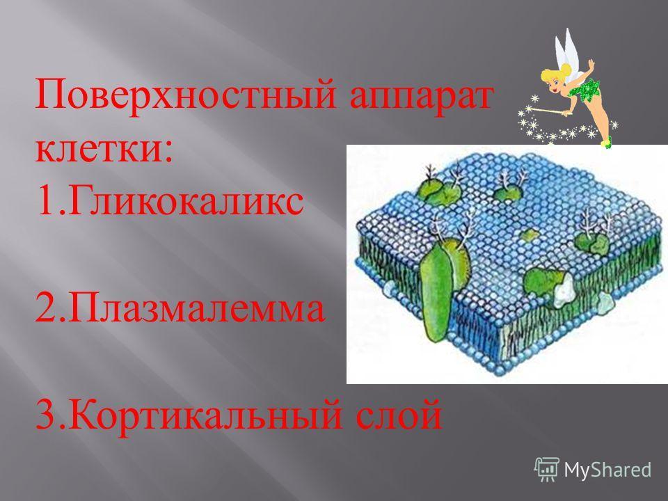 Поверхностный аппарат клетки : 1.Гликокаликс 2.Плазмалемма 3.Кортикальный слой