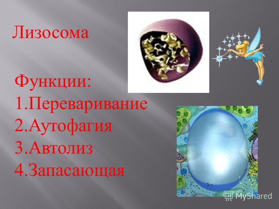 Лизосома Функции : 1.Переваривание 2.Аутофагия 3.Автолиз 4.Запасающая