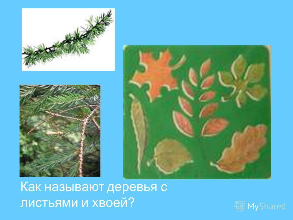 Как называют деревья с листьями и хвоей?
