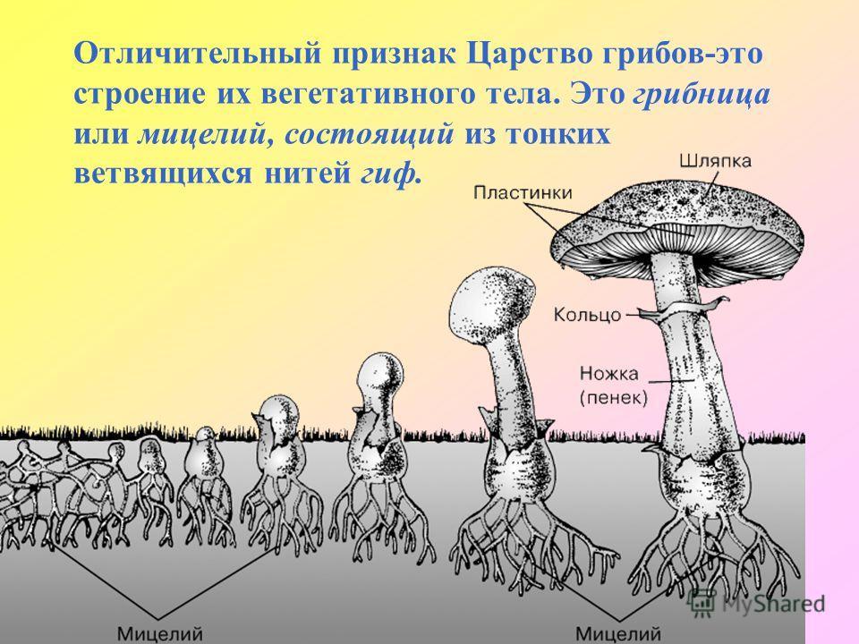 Отличительный признак Царство грибов-это строение их вегетативного тела. Это грибница или мицелий, состоящий из тонких ветвящихся нитей гиф.