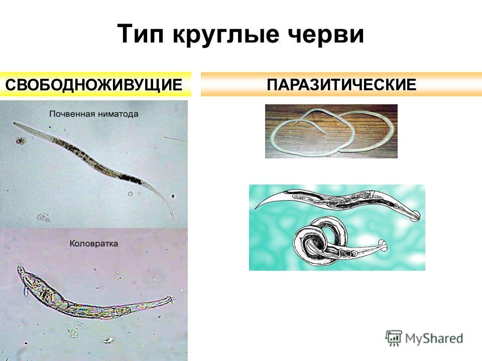 круглые черви паразиты человека сообщение
