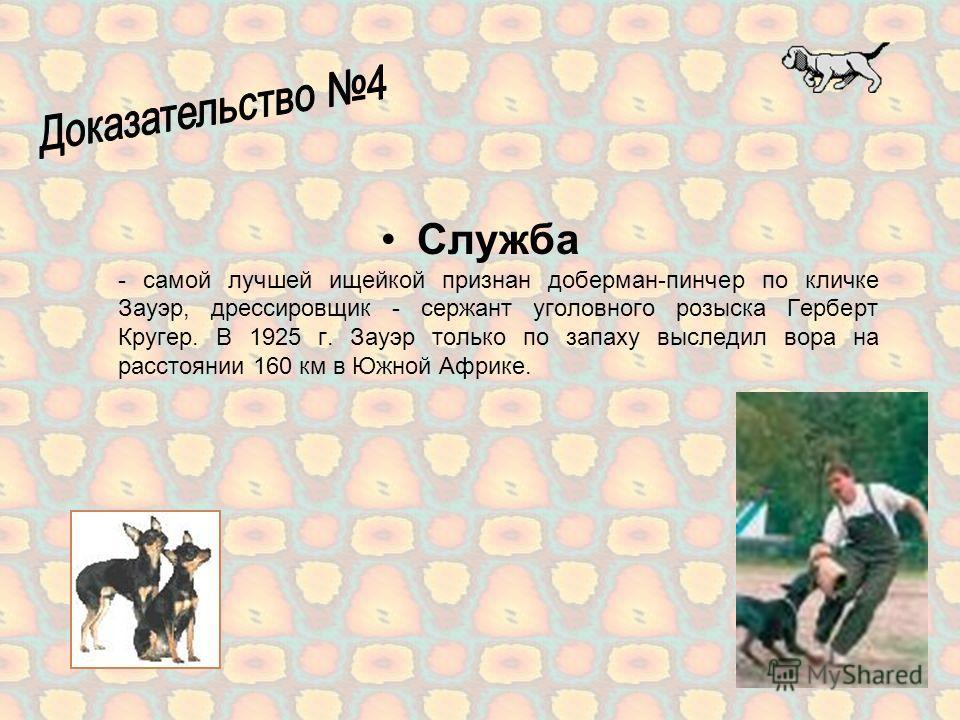 Собаки поводыри - самый длительный срок активной службы в качестве собаки- поводыря - 14 лет и 8 месяцев - зарегистрирован для суки лабрадор-ретривера Синди-Клио, принадлежавшей Арону Барну, Тель-Авив, Израиль. Дожила до 10 апреля 1987 г.