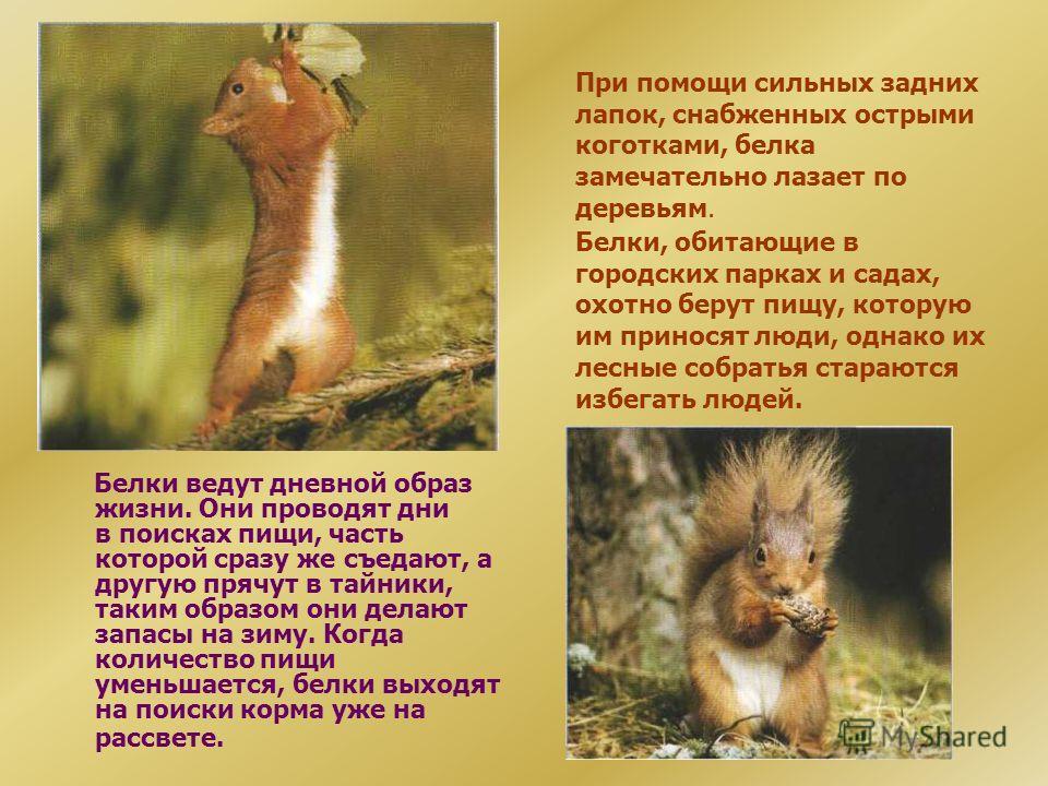 БЕЛКА ВЕЛИЧИНА Длина: 20-32 СМ Длина хвоста: 19-31 см. Масса: 200-1000 г, в зависимости от времени года (летом белка весит меньше). ОБРАЗ ЖИЗНИ Привычки: живут на деревьях. Держатся поодиночке. Звуки: резкое «тюк-тюк- тюк». Пища: шишки, кора, сок рас