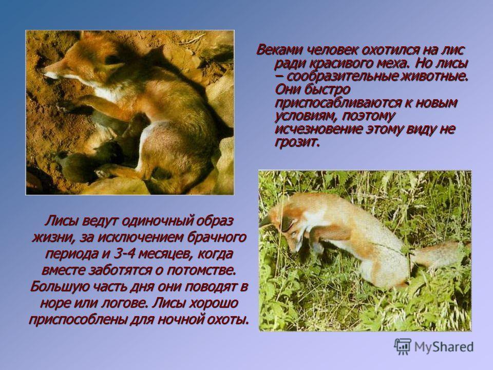 ВЕЛИЧИНА Длина: самец 112 см, самка 108 см. Длина хвоста: до 40 см. Масса: самец 5,9 кг, самка 5,2 кг ОБРАЗ ЖИЗНИ Привычки: ночной образ жизни; совместная забота о потомстве, в остальное время держатся по одиночке. Пища: дождевые черви, кролики, птиц