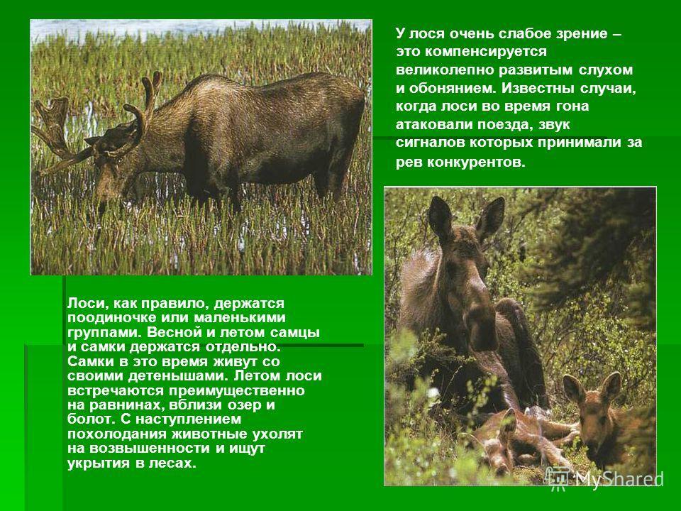 ВЕЛИЧИНА Длина: 1,5-3 м. Высота в холке: 1,50-2,3 м. Масса: 270-500 кг, на Аляске до 600 кг; самец значительно крупнее и тяжелее самки. Масса: 270-500 кг, на Аляске до 600 кг; самец значительно крупнее и тяжелее самки. ОБРАЗ ЖИЗНИ Привычки: держатся