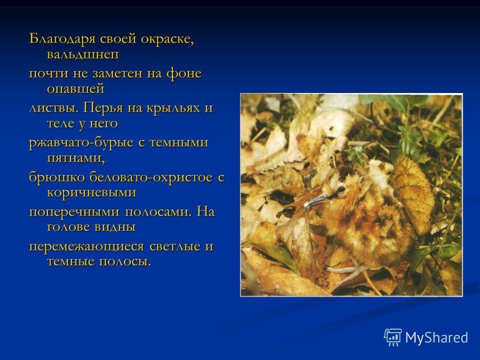 ВАЛЬДШНЕП ВЕЛИЧИНА Длина тела: 33-35 см. Длина клюва: 6,5-8 см. Длина крыла: до 20 см. Масса: 290-320 г. ОБРАЗ ЖИЗНИ Привычки: держатся поодиночке; полигамны. Пища: дождевые черви, насеко мые и их личинки, в основном жуки и личинки двукрылых.