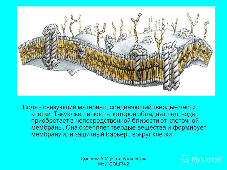 Вода - связующий материал, соединяющий твердые части клетки. Такую же липкость, которой обладает лед, вода приобретает в непосредственной близости от клеточной мембраны. Она скрепляет твердые вещества и формирует мембрану или защитный барьер, вокруг