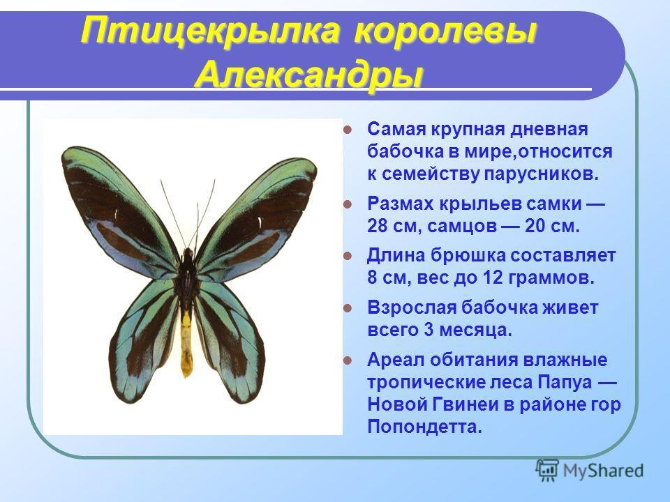 Птицекрылка королевы Александры Самая крупная дневная бабочка в мире,относится к семейству парусников. Размах крыльев самки 28 см, самцов 20 см. Длина брюшка составляет 8 см, вес до 12 граммов. Взрослая бабочка живет всего 3 месяца. Ареал обитания вл