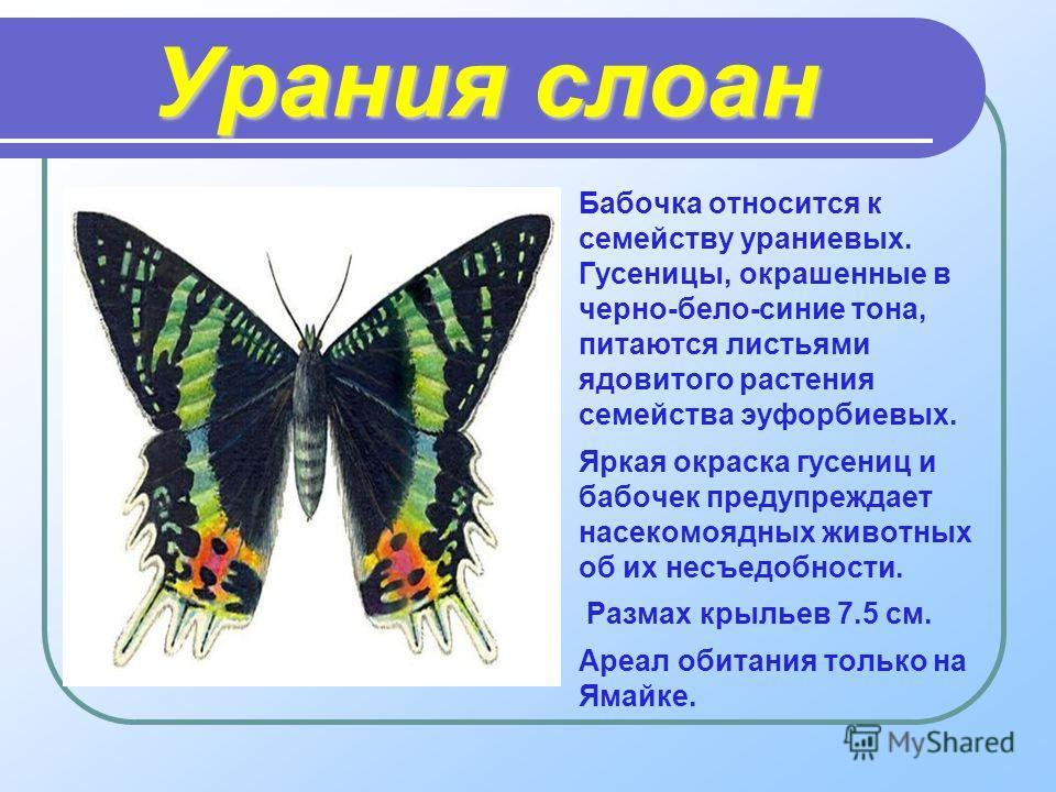 Урания слоан Бабочка относится к семейству ураниевых. Гусеницы, окрашенные в черно-бело-синие тона, питаются листьями ядовитого растения семейства эуфорбиевых. Яркая окраска гусениц и бабочек предупреждает насекомоядных животных об их несъедобности.