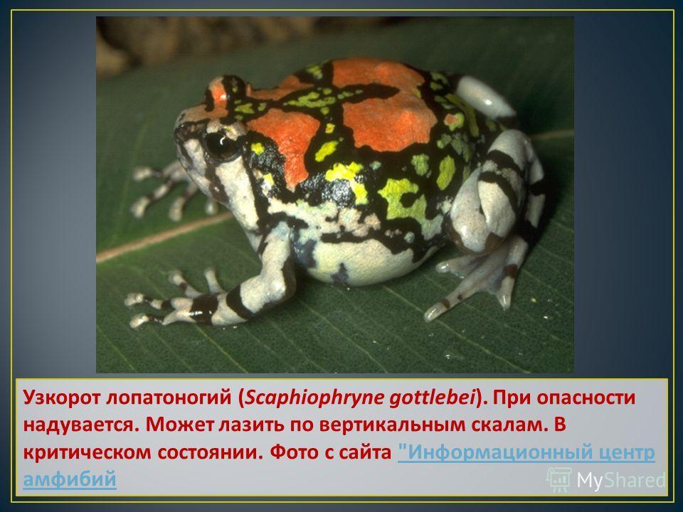 Узкорот лопатоногий (Scaphiophryne gottlebei). При опасности надувается. Может лазить по вертикальным скалам. В критическом состоянии. Фото с сайта  Информационный центр амфибий