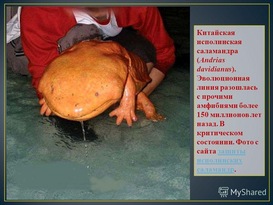 Китайская исполинская саламандра (Andrias davidianus). Эволюционная линия разошлась с прочими амфибиями более 150 миллионов лет назад. В критическом состоянии. Фото с сайта защиты исполинских саламандр.защиты исполинских саламандр